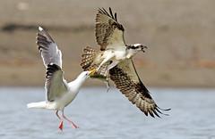 Gull vs Osprey (Thy Photography) Tags: gullvsosprey osprey ospreywithfish wildlife animal bird backyard nature outdoor photography fullframe avian