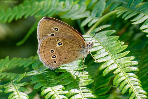 Ringlet (Aphantopus hyperantus ab. nov)
