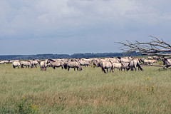 Overview over the herd (Beyond the grave) Tags: oostvaardersplassen flevoland netherlands horses konikhorses newnature polder landscape