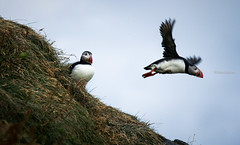 In the air, Dyrholaey, South Iceland (monsieur I) Tags: birds birdscliffs discover dyrholaey iceland intheair monsieuri nature puffins roadtrip southiceland travel wildlife world