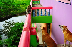 ,, Mama, Pumpkin, Primate ,, (Jon in Thailand) Tags: mama pumpkin primate swamp jungle reflection brokenribs manybrokenribs nikon d300 nikkor 175528 dog dogs k9 red blue green peach yellow teal purple thedogpalace handrail cementstairs woodenwindowframes wildlife monkey ears nose cone airscenting abandonedbuilding decayingbuilding littedoglaughedstories