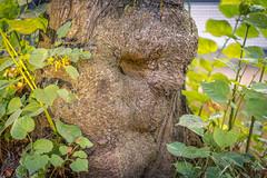 Tronco de rbol (Renate Bomm) Tags: 2016 366 baumstamm city face renatebomm stadterkundung tree kln nordrheinwestfalen deutschland cologne natur gewachsen troll