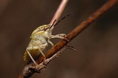 DSCF0302 (faki_) Tags: fuji fujifilm xe1 fujinonxf60mmf24rmacro 60 24 rovar insect poloska heteroptera