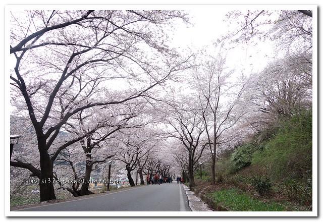 화개십리벚꽃길35
