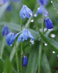 Morning Dew (Em Why) Tags: scillasiberica cy2 challengeyouwinner idnsinililja transcendingwinner