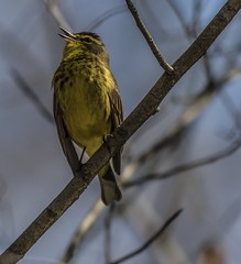 Eastern Palm Warbler Singing (Odonata457) Tags: county anne unitedstates maryland palm research eastern arundel warbler patuxent refuge odenton dendroicapalmarum