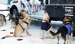 A Canine Singer - Alaska (Explored) (JLS Photography - Alaska) Tags: dogs sports animal sport alaska husky outdoor huskies dogmushing dogracing jlsphotographyalaska