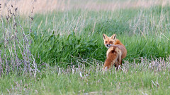 Red Fox by Steve Gifford (Steve Gifford - IN) Tags: county red nature photo wildlife steve picture indiana canine photograph fox steven society gibson audubon gifford haubstadt