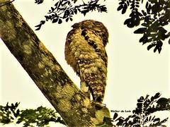 Great Potoo (Nyctibius grandis) Nictibio Grande (Canuck 07) Tags: bird nyctibiusgrandis greatpotoo nictibiogrande