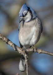 BLUE JAY (Lisa Plymell) Tags: blue bird nature bluejay cyanocittacristata sigma150500