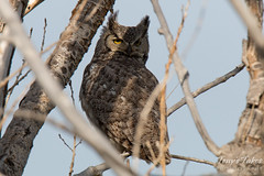 May 3, 2015 - A wary Great Horned Owl in Commerce City. (Tony's Takes)