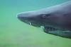 IMG_5970 (jordantea) Tags: grey zoo aquarium shark sand tiger nurse pittsburghzoo ppg sandtigershark ppgaquarium greynurseshark