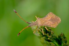 Syromastus rhombeus (GeoTsia) Tags: macro bug insect truebug coreidae hemiptera rhombeus pentatomomorpha coreoidea syromastusrhombeus syromastus