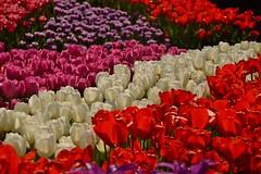tulips tulips and more tulips (armykat) Tags: tulips longwoodgardens natureycrap kennettsquarepennsylvania tulipalooza2015