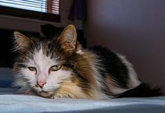 Bed Sitting - Tilly the 3-legged Cat (Panasonic LX100) (markdbaynham) Tags: leica pet cute cat lumix feline zoom panasonic fixed ft dmc tilly 43rd compact 3legged lx panny evf fourthird lx100 2475mm f1728