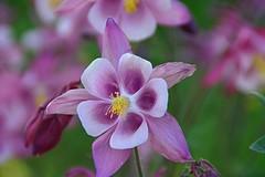 Columbine Flower (Schnauzergal) Tags: nikon bokeh laketahoe pinkflower columbine d5200