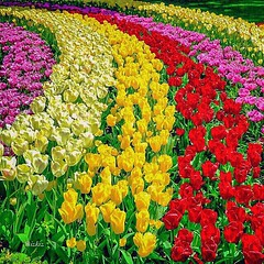 #TulipsLifeSeria #TulipsSeria #LalelerSeria #Tulips #Laleler #PinkTulips #PembeLaleler #RedTulips #KirmiziLaleler #YellowTulips #SariLaleler #PinkTulipsSeria #PembeLalelerSeria #RedTulipsSeria #KirmiziLalelerSeria #YellowTulipsSeria #SariLalelerSeria #Ren (mustafagavsar) Tags: tulips redtulips pinktulips yellowtulips laleler sarilaleler colorsworld colorsspring pembelaleler sali2015seria saliseria tulipslifeseria tulipsseria lalelerseria yellowtulipsseria sarilalelerseria may26mayis2015 mayis26seria kirmizilaleler pinktulipsseria pembelalelerseria redtulipsseria kirmizilalelerseria rengarenkdnya ebrulidnya menevidnya renklibahar verygoodworld mayis2015seria salimayisseria