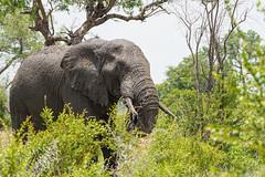 Suedafrika-7 (Lukas P Schmidt) Tags: elephant nationalpark krugerpark