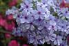 IMG_2991.JPG (robert.messinger) Tags: flowers rhodies