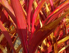 Red Sister (Helen) Tags: red leaves folliage cordyline asparagaceae redsister justleaves macromonday palmlily cordylinerubra