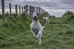 Ball Games Along the Fence (Shastajak) Tags: dog greyhound fence stanley sql bullterrier sighthound rehomed rescued lurcher crossbreed gazehound deerhoundcross ballonarope fencefriday pronouncedsequel