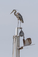 Great Blue Heron on the Crow's Nest of a Shrimp Boat (lisanelson2011) Tags: galveston heron hermitcrab port fisherman pelican cheryl cormorant tern egret kem shrimpboats sanderling willet ruddyturnstone avocet redwingblackbird 2016 laughinggull reddishegret