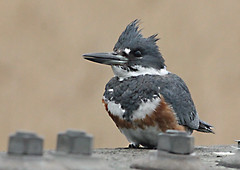 Belted Kingfisher - female, West Harwich Conservation Area, Harwich MA 5/6/16 (petertrull) Tags: elements