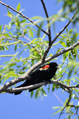 Red-winged Blackbird (*cranberry*) Tags: red black male bird adult winged