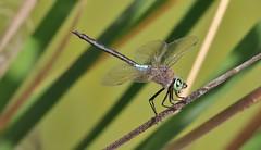 Lesser Emperor Dragonfly  (Anax parthenope)   (Explored)  29-05-2016 (nick.linda) Tags: lesseremperordragonfly anaxparthenope dragonflies costablancaspain sigma150600c canon7dmkii wildandfree