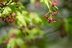Japanese Maple blossom (Spannarama) Tags: sunlight tree leaves sunshine blossom japanesemaple outofmywindow