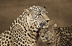 Animals, Sepia Portraits of Big Cats (PhotographyPLUS) Tags: pictures graphics photos illustrations images stockphotos articles footage stockimage freephoto stockphotograph