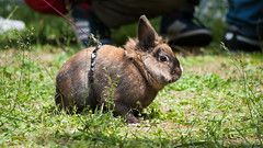Sono decisamente il coniglio pi hard rock con questa pettorina (divi333) Tags: rabbit bunny bunnies ferrara rabbits conigli coniglio 2016 conigliando