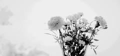 birthdayflowers (Lumins) Tags: birthday flowers light flower love window 35mm shine girly sony romantic highkey bouquet alpha celebrate bouquetofflowers birthdaybouquet