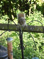 Ninja Warrior squirrel (Nekoglyph) Tags: trees green nature animal grey woods squirrel eating wildlife yorkshire cleveland peanuts feeders valleygardens saltburn straddling