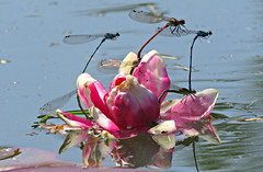Mixed Marriages! ('cosmicgirl1960' NEW CANON CAMERA) Tags: pink blue red white green nature water gardens wales lily dragonflies cymru parks couples insects bugs lilies pairs mating snowdonia bodnant damselflies eryri gardd yabbadabbadoo