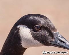 16A_0449 AE Canada Goose -Bernache du Canada (Paul Lev) Tags: canada quebec gatineau birds canadagoosebernacheducanada