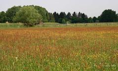 21-IMG_1899 (hemingwayfoto) Tags: blhen blte gras grasblte heuschnupfen landschaft maiwiese natur norddeutschland ostufer regionhannover wiese