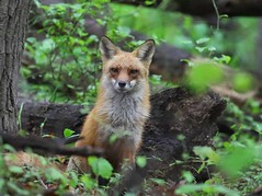 2016_05_17_9999_191      g-5 (george_gww) Tags: red fox
