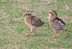 Kauai, 2016 (carrie227) Tags: chicken hawaii chick kauai hawaiianislands babychick