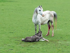 new life (ben norbury) Tags: horse birth foal