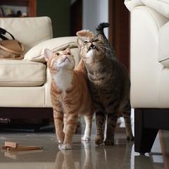 DSC09125S (lazybonessss) Tags: leica cat momo kitten nana kitten2 summicronm50 sonya7 sonyilce7