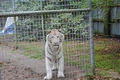White Tiger (abbytwisdale) Tags: photography zoo whitetiger carolinabeach