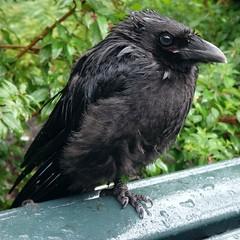 Wet Fledgling. Corvus corone, Crow, Hortus Botanicus, Amsterdam, The Netherlands (Rana Pipiens) Tags: mist rain edgar crow edgarallanpoe corvuscorone a cawing fledglingcrow hortusbotanicusamsterdamthenetherlands