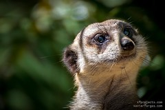 Portrait of a meerkat (www.xavierfargas.com) Tags: africa wild portrait brown cute nature face animal closeup fauna standing mouth mammal eyes meerkat pretty little african wildlife small guard adorable lookout single curious creature curiosity alert snout suricate watchful suricatta suricata