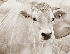 """Photo Series: Life on the farm is.... : """"Gazing instead of Grazing"""" (Ken Whytock) Tags: face closeup cow eyes cattle ears jersey"""