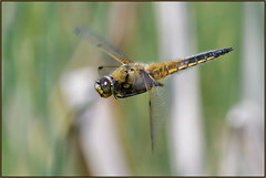 Four-spotted Chaser In Flight (image 1 of 2) (Full Moon Images) Tags: macro nature insect four flying dragonfly wildlife sandy flight bedfordshire reserve lodge spotted chaser thelodge rspb fourspotted