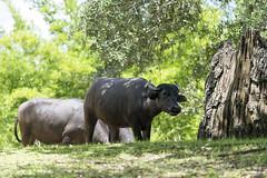 Water buffalo (Find The Apex) Tags: animal animals disney disneyworld wdw waltdisneyworld waterbuffalo disneysanimalkingdom dak maharajahjungletrek bubalusbubalis asianwaterbuffalo