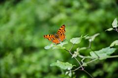 European Comma Butterfly (alexspengler) Tags: kosova kosovo germia