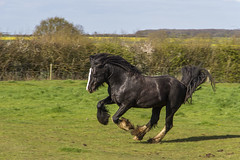 IMG_1355 (Kev Gregory (General)) Tags: horse stallion kevc gregory play spring fun canter rear charge gallop friend wife horseplay