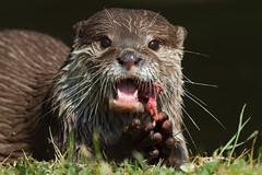 Lunchtime (greenzowie) Tags: animal mammal zoo edinburgh otter edinburghzoo 2016 photographyworkshop greenzowie